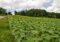 2018-07-15 Sunflowers at Museum of Folk Architecture and Ethnography in Pyrohiv, Kyiv, Ukraine 3.jpg
