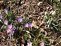 2021-03-04 11 21 19 Crocuses and snowdrops blooming along a walking path in the Franklin Glen section of Chantilly, Fairfax County, Virginia.jpg
