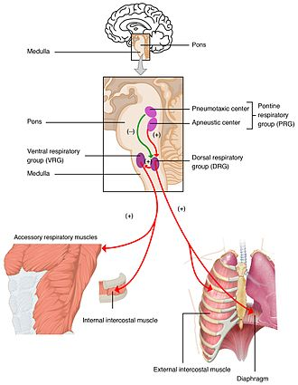 Respiratory center - Respiratory groups in the respiratory center and their influence