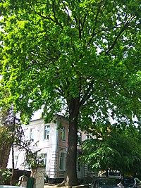 24 Artynova str. oak tree 2.jpg