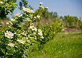 71-101-5025 Guelder rose blossom in Cherkasy European park DSC 8715.jpg