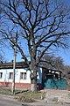 74-101-5003 Chernihiv Oak DSC 7745.jpg