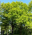 AB ND14 Quercus3.jpg