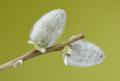 AD 2010-03-27 Salix caprea 01.png