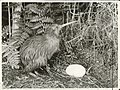 A Kiwi with its large single egg.jpg