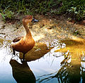 A Lonely Duckling? at Kentridge Park (1015830073).jpg