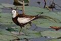 A Pheasant Tailed Jacana Walking on Lotus Leaves (50188558207).jpg