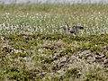A Whimbrel in Stordalens nature reserve.jpg