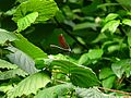 A dragonfly by the Eger Stream Balaton-felvidek.JPG