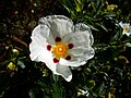 A flower, Manor Park, Sutton, Surrey, London - Flickr - tonymonblat.jpg