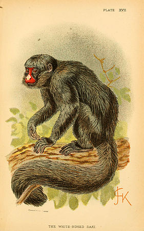 A hand-book to the primates (Plate XVII) (6028573359).jpg