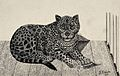 A jaguar in an enclosure. Reproduction of an etching by F. L Wellcome V0020803.jpg