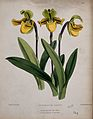 A lady's slipper orchid (Cypripedium drurii); flowering stem Wellcome V0044406.jpg