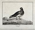 A pigeon standing on a rocky patch. Etching by C. M. Fessard Wellcome V0020579.jpg