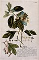 A plant (Laurus sp.) related to laurel; flowering, fruiting Wellcome V0042999.jpg