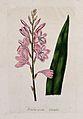 A plant (Watsonia rosea); flowering stem and leaf. Coloured Wellcome V0044655.jpg