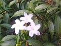 A sampaguita flower.jpeg