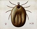 A tick (Ixodes reduvius). Coloured drawing by A.J.E. Terzi. Wellcome V0022546.jpg