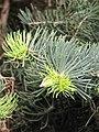 Abies concolor 'Compacta' Jodła jednobarwna 2010-05-15 01.jpg