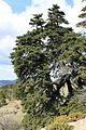 Abies pinsapo (Pinaceae) (8733573287).jpg