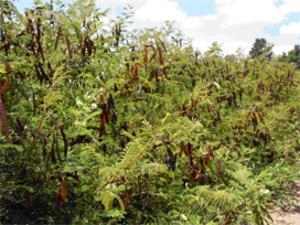 Acaciella angustissima - Image: Acacia angustissima usgs