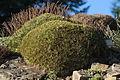 Acantholimon acerosum (Botanical Gardens Berlin) (01).jpg
