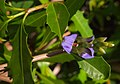 Acanthus ilicifolius flowers and foliage.jpg