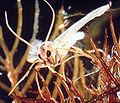 Acentria ephemerella 0002003 Crop.jpg