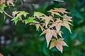 Acer cappadocicum ssp. sinicum in Hackfalls Arboretum (5).jpg