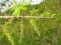 Acer cissifolium 8.JPG