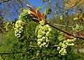Acer macrophyllum kz05.jpg
