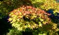 Acer palmatum Shigitatsu-sawa 2.jpg