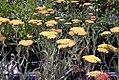 Achillea millefolium Fireland 3zz.jpg