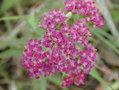 Achilleamillefolium2web.jpg