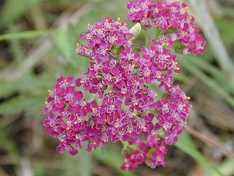 Achillea - Image: Achilleamillefolium 2web