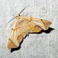 Achrosis c-w incitata (Geometridae- Ennominae) (7211458672).jpg
