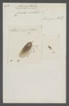 Acocephalus - Print - Iconographia Zoologica - Special Collections University of Amsterdam - UBAINV0274 042 06 0021.tif