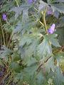 Aconitum carmichaelli 'arendsii' 27-10-2005 16.10.26.JPG