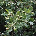 Acorns and oak leaves, near Thame - geograph.org.uk - 228229.jpg