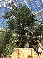 Adansonia digitata Affenbortbaum in Kirstenbosch.jpg