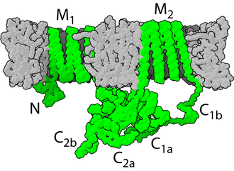 Adenylyl cyclase - Structure of adenylyl cyclase