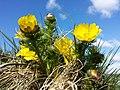 Adonis vernalis sl10.jpg