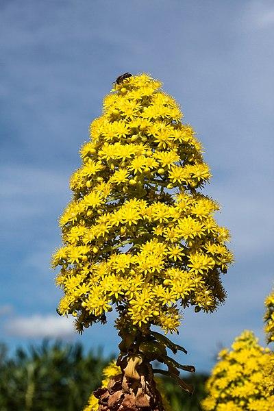 File aeonium arboreum jard n bot nico canario viera y clavijo gran canaria - Jardin botanico canario ...