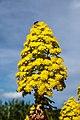 Aeonium arboreum - Jardín Botánico Canario Viera y Clavijo - Gran Canaria - 02.jpg