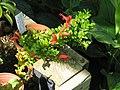 Aeschynanthus buxifolius (21388799130).jpg