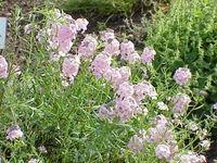Aethionema grandiflora1