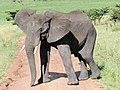 African Elephant (3075418077).jpg