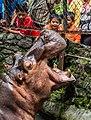 African hippopotamus greeting guests, Gembira Loka Zoo, Yogyakarta, 2015-03-15 01.jpg