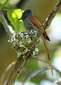 African paradise flycatchers, Terpsiphone viridis, nesting at at Walter Sisulu National Botanical Garden, December 1, 2014 (15756926209).jpg