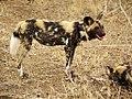 Afrikaanse Wilde Hond (6290418577).jpg